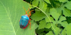 Blue bug, probably something poisonous!