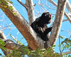howler monkey nicaragua 2