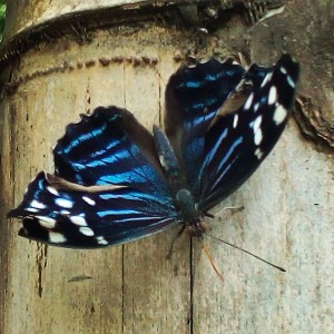 cobalt and white butterfly